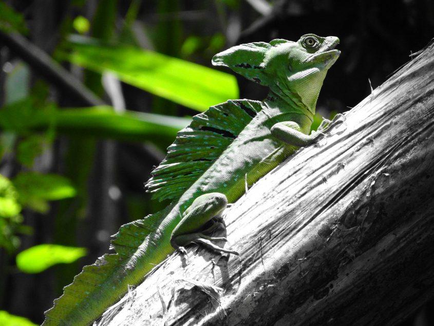 emerald basilisk costa rica